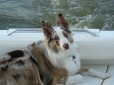 Australian Shepherd, 2, red merle